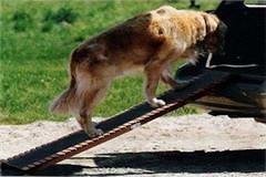 Auto Hunderampe Schäferhund