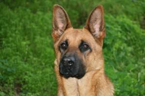 Schäferhund Hündin oder Rüde?
