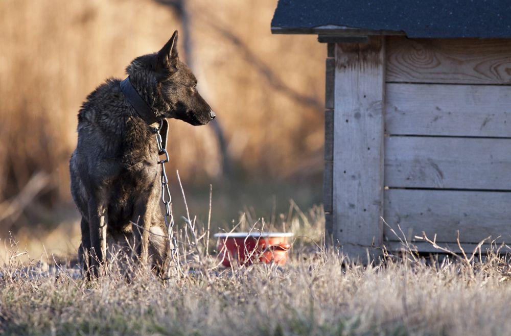 Schäferhund Hepatits