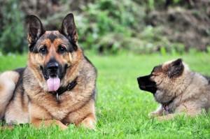 Schäferhund Welpe mit Muttertier