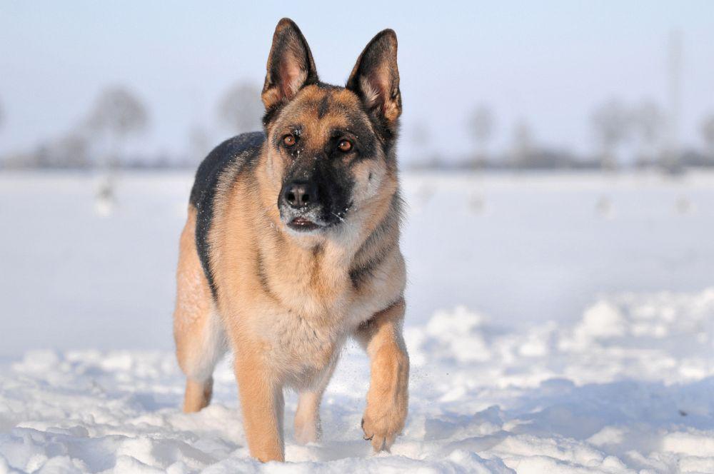 Schäferhund in Not Problemhund