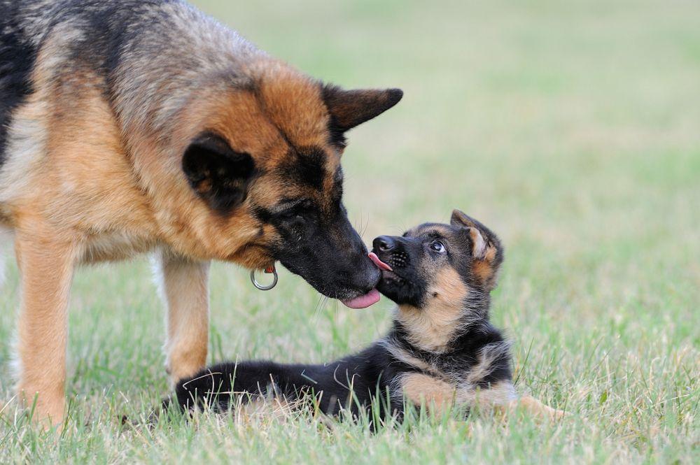 Seriöser Schäferhund Züchter