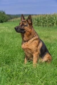 Sitz Bleib Platz Kommandos Schäferhund