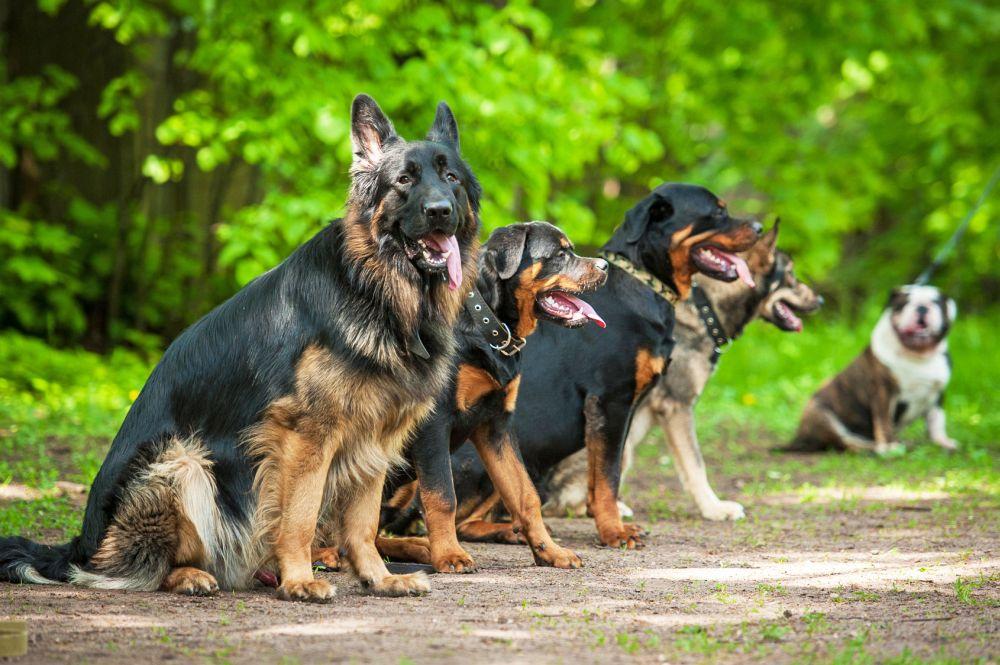 Hundeschule für Schäferhunde