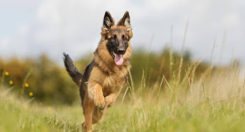 Hunderasse Deutscher Schäferhund