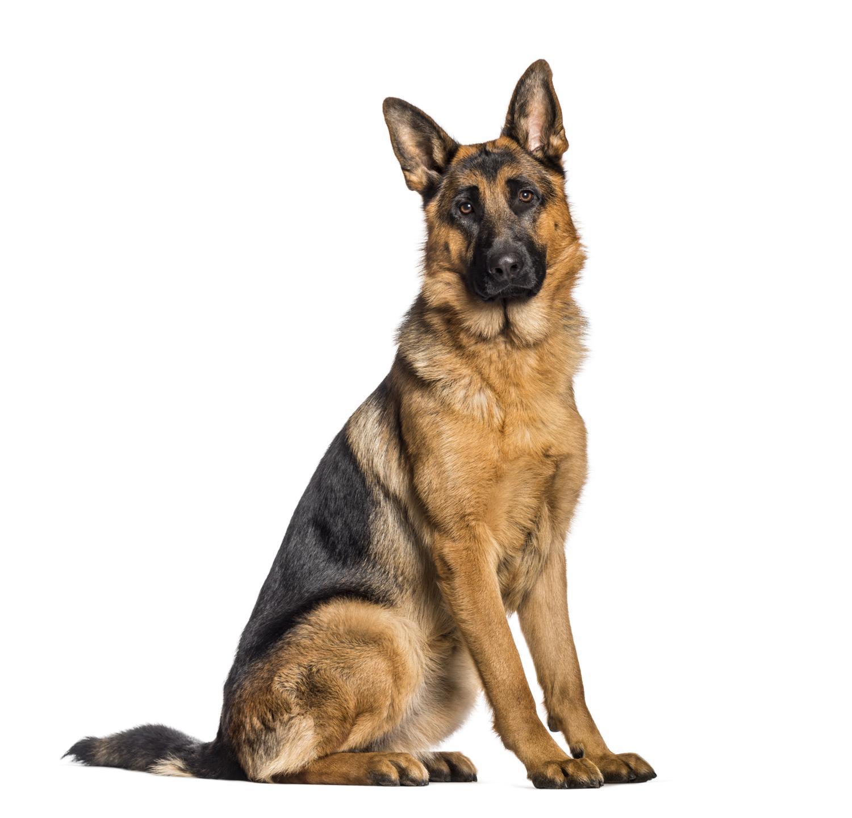 Schäferhund: Was ist typisch Schäferhund? Charakter und Wesen