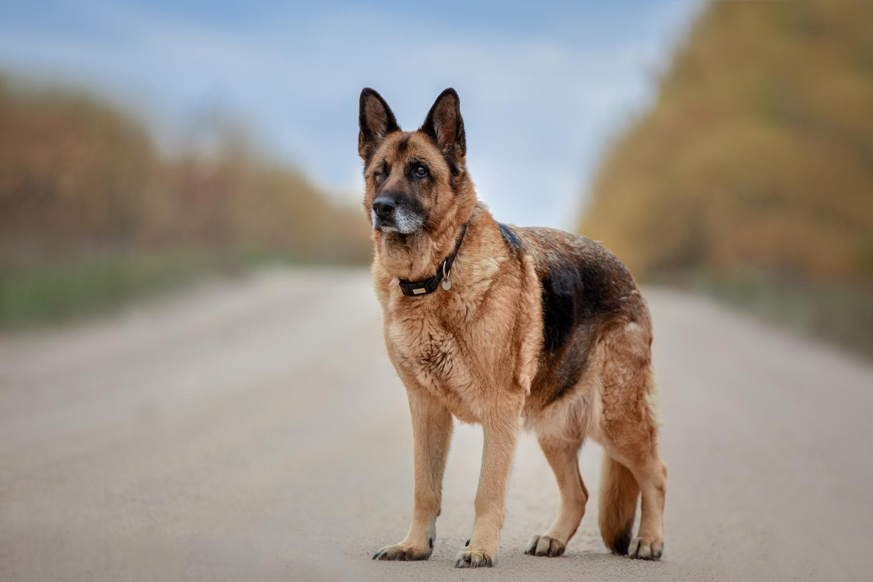 Deutscher Schäferhund - Hündin