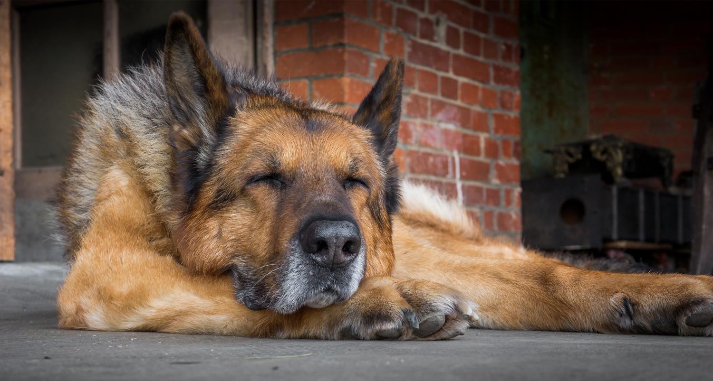 Wie hoch ist die Lebenserwartung eines Schäferhundes und was kann ich tun damit mein Schäferhund länger lebt?
