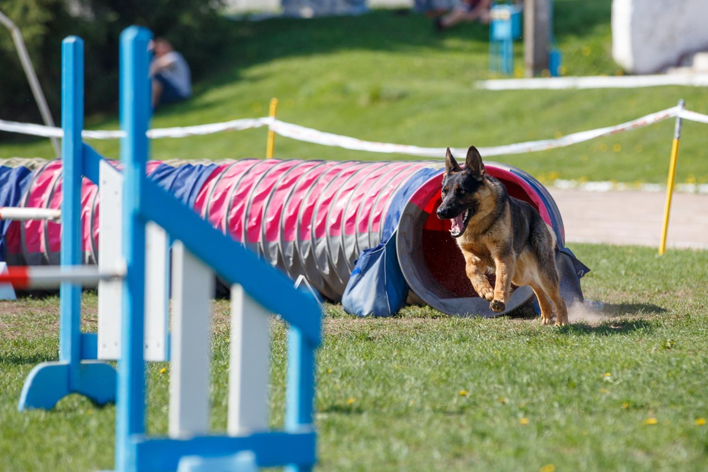 Der Schäferhund will beschäftigt werden. Als Arbeitshund sollte man viel mit seinem Hund unternehmen.
