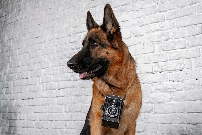 Tolle Fotos und Bilder vom Deutschen Schäferhund