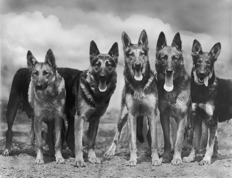 Schäferhund Geschichte und Ursprung; Aufnahme aus dem Jahr 1935