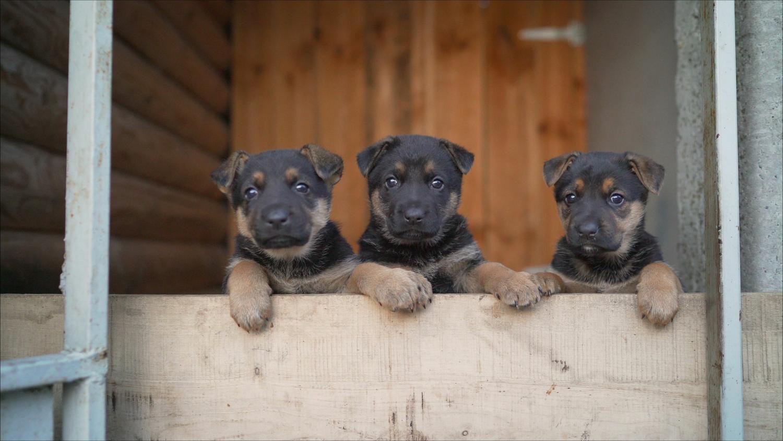 Schäferhund kaufen - passt ein Schäferhund zu mir?