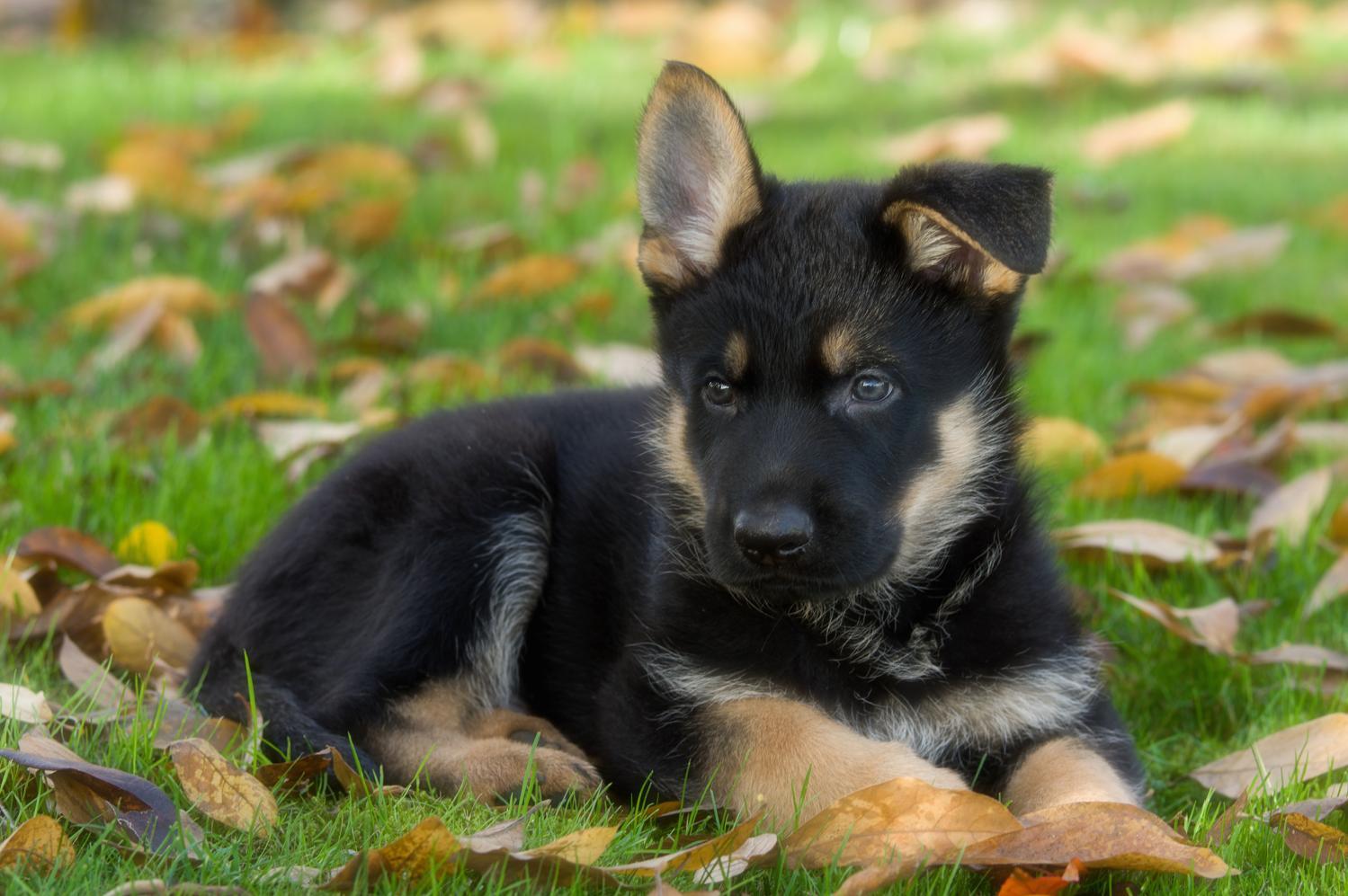 Schäferhund Kleinanzeigen: Welpen, Schäferhund in Not, Schäferhund Deckrüden
