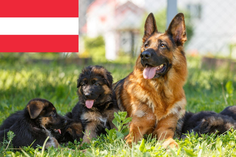 Schäferhund Welpen in Österreich