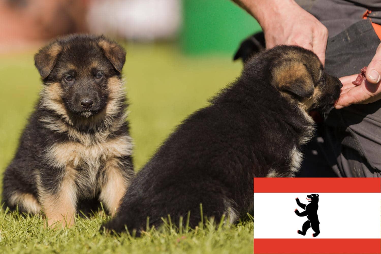 Schäferhund Welpen in Berlin