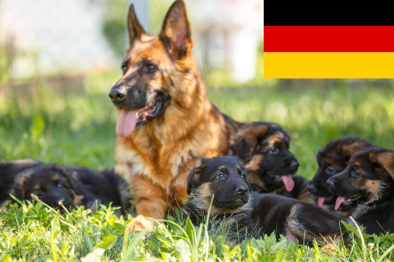 Schäferhund Welpen und Züchter aus Deutschland
