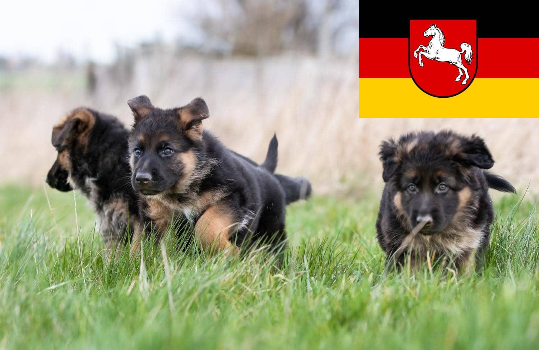 Schäferhund Welpen in Niedersachsen