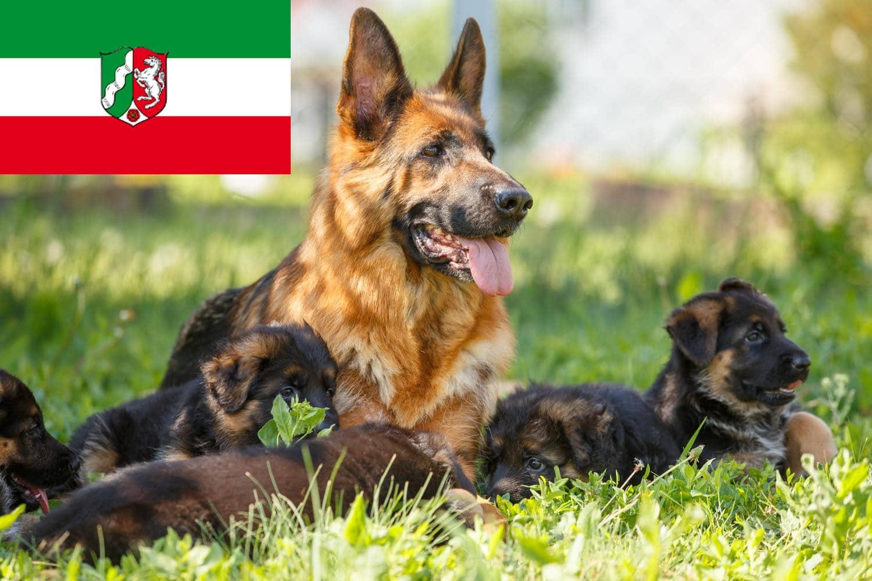 Schäferhund Welpen NRW, Nordrhein-Westfalen