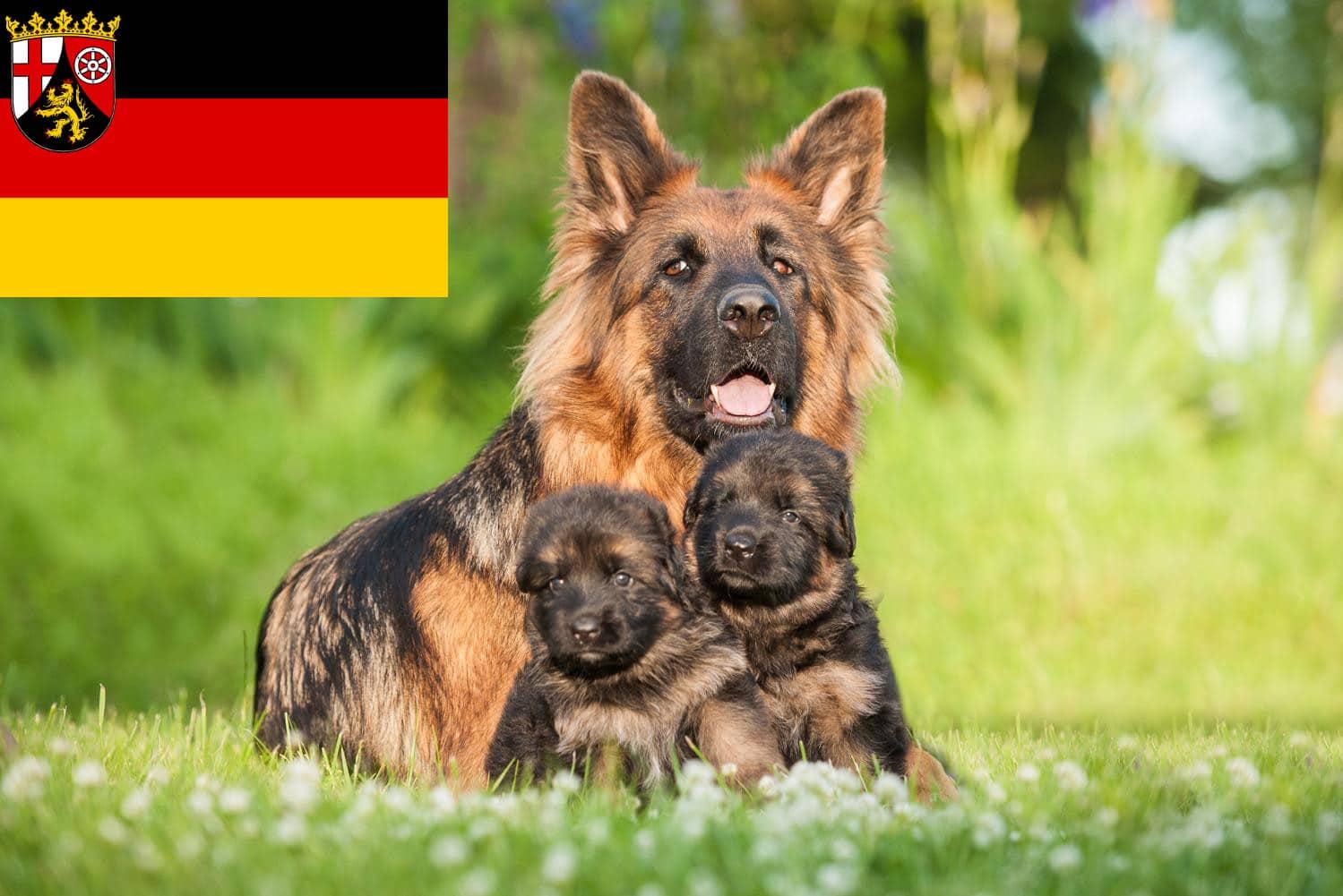 Schäferhund Welpen in Rheinland Pfalz