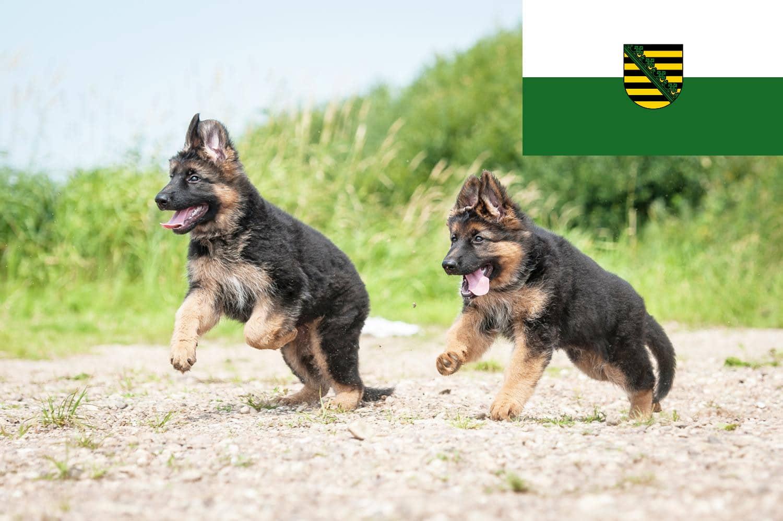 Schäferhund Welpen in Sachsen