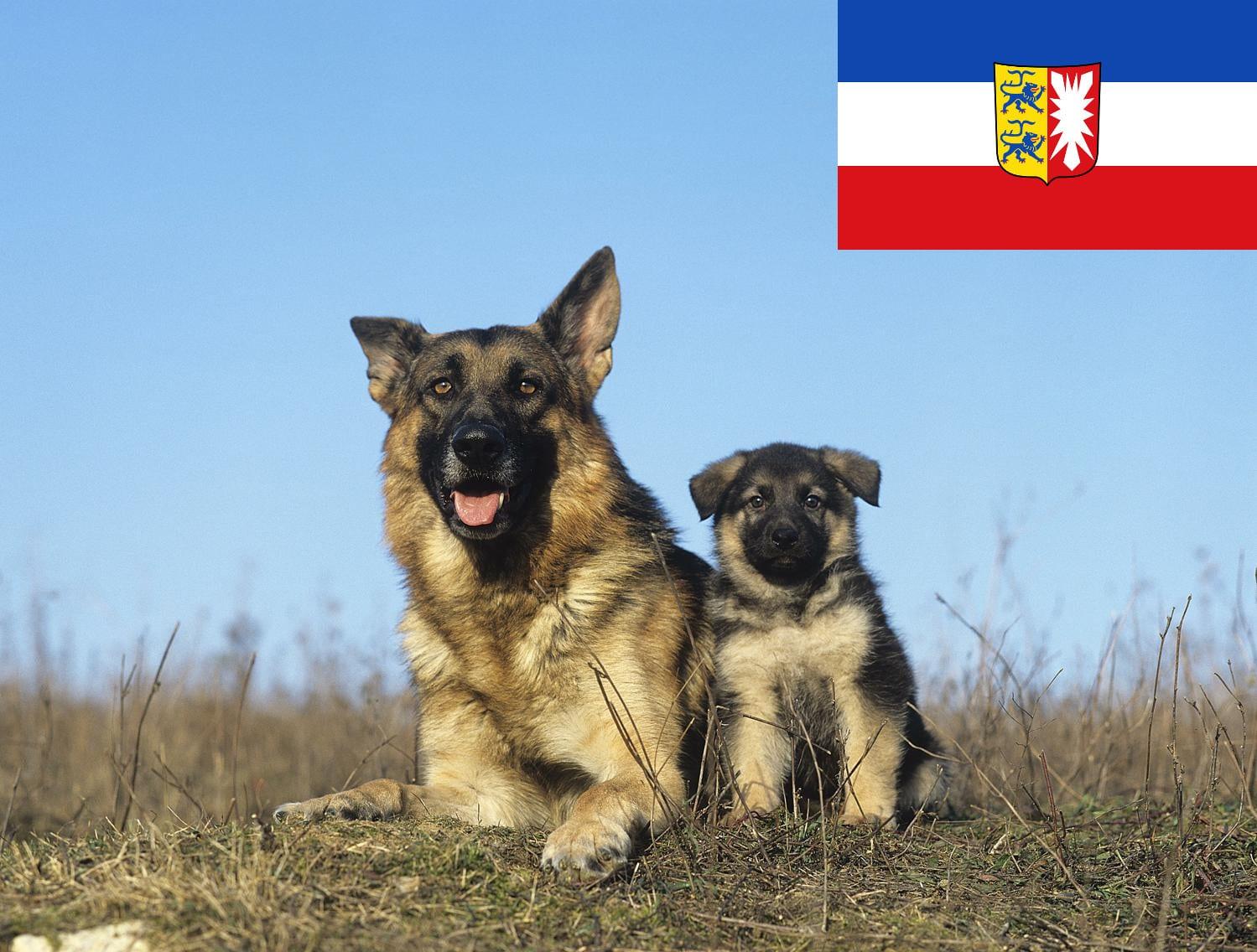 Schäferhund Welpen aus Schleswig Holstein
