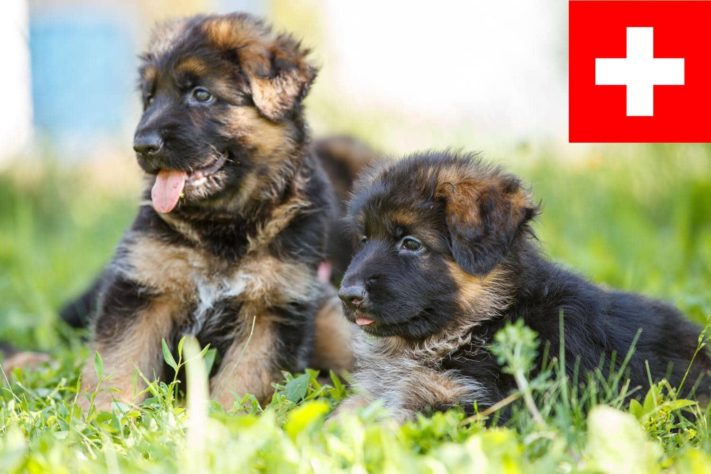 Schäferhund Welpen aus der Schweiz