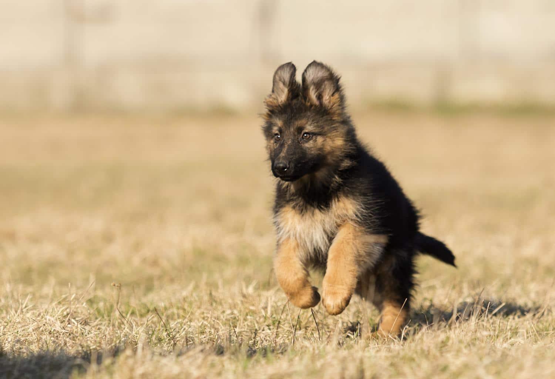 Wie finde ich einen gesunden Schäferhund Welpen?