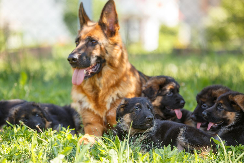 Schäferhund Züchter für gesunde Welpen finden.